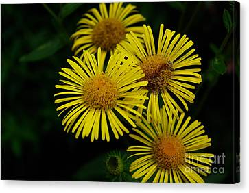 Fireworks In Yellow Canvas Print by John S