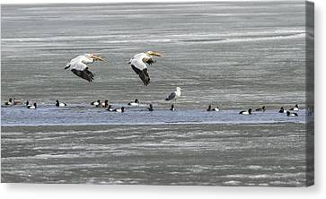Flying White Pelicans Canvas Print - First Arrivals 2014-1 by Thomas Young