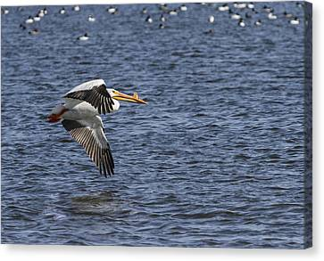 Flying White Pelicans Canvas Print - First Arrivals 2014-2 by Thomas Young