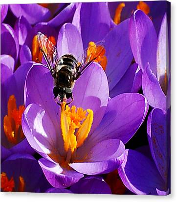 First Bee Of Spring Canvas Print
