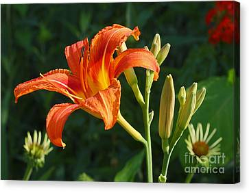 First Flower On This Lily Plant Canvas Print by Steve Augustin