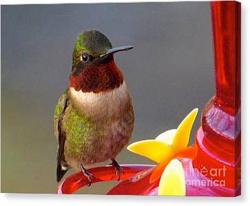 First Hummer Of 2015 Canvas Print