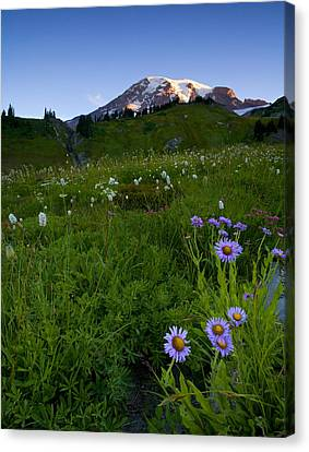 Aster Canvas Print - First Light by Mike  Dawson