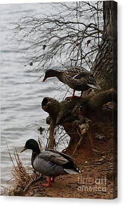 Canvas Print featuring the photograph First One In by Kim Henderson