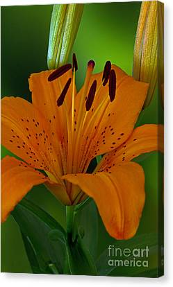 Day Lilly Canvas Print - First Orange Bloom by Robert Pilkington