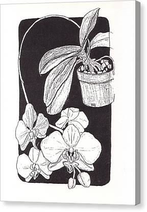First Prize Moth Orchid Canvas Print by Vincent Mantia