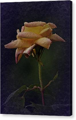 First Vintage Rose 2017 Canvas Print by Richard Cummings