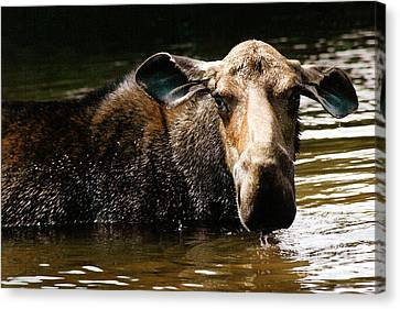 First West Branch Pond Moose Canvas Print