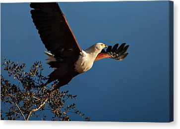 Fish Eagle Taking Flight Canvas Print by Johan Swanepoel
