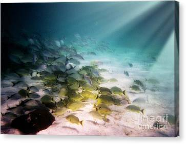 Fish Swim In The Light Canvas Print by Sven Brogren