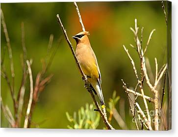 Fishercap Cedar Waxwing Canvas Print by Adam Jewell