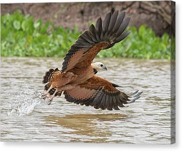 Canvas Print featuring the photograph Fishing Hawk by Wade Aiken