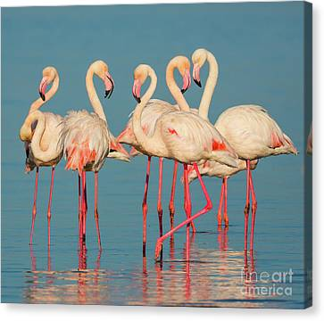 Reflecting Water Canvas Print - Five Flamingos by Inge Johnsson