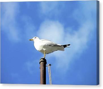 Flagpole Gull Canvas Print by Al Powell Photography USA