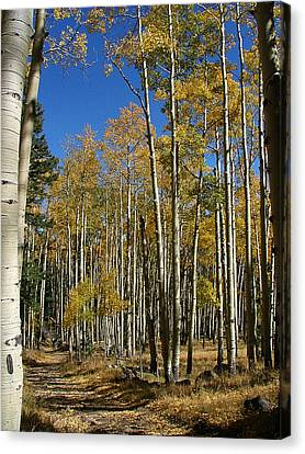 Flagstaff Aspens 799 Canvas Print