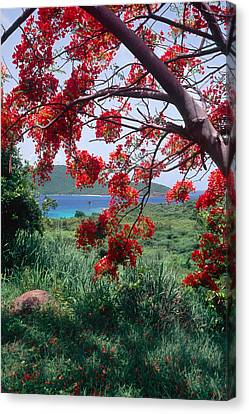 Flamboyan Tree Canvas Print by George Oze