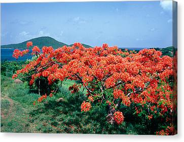 Flamboyan Tree In Bloom Culebra Puerto Rico Canvas Print by George Oze
