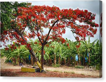 Flamboyan Treee Blooming On A Banana Plantation Canvas Print by George Oze