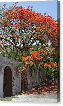 Royal Poinciana Canvas Print - Flamboyant Tree In Dominica by Tropical Ties Dominica