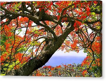 Flamboyant Trees- St Lucia Canvas Print