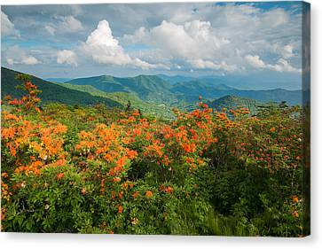 Flame Azaleas Roan Highlands Appalachian Trail Canvas Print