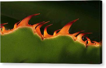 Flaming Aloe Canvas Print by Matt Cormons