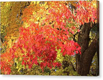 Flaming Autumn 3 Leaves Art Canvas Print by Reid Callaway