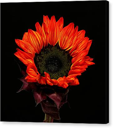 Canvas Print featuring the photograph Flaming Flower by Judy Vincent