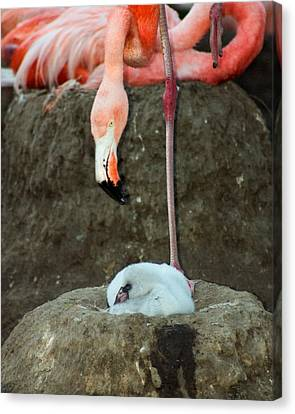 Flamingo And Chick Canvas Print by Anthony Jones