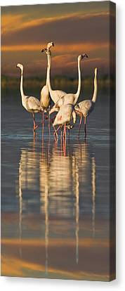 Flamingo Dance Canvas Print by Basie Van Zyl
