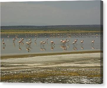 Flamingos Magadi Hot Springs Kenya Canvas Print by Patrick Kain