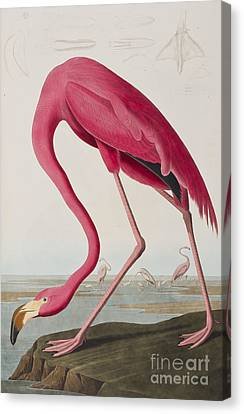 Flamingo Canvas Print by John James Audubon