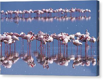 Flamingo Reflection - Lake Nakuru Canvas Print