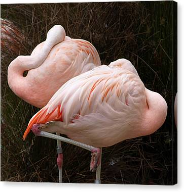Flamingo Siesta Canvas Print by Laura Allenby