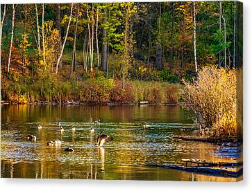 Canadian Marsh Canvas Print - Flapping For Fall by Steve Harrington