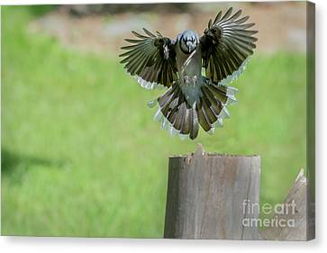 Flaps Up And Ready Canvas Print by Dan Friend