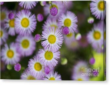 Asteraceae Canvas Print - Fleabane Daises by Tim Gainey
