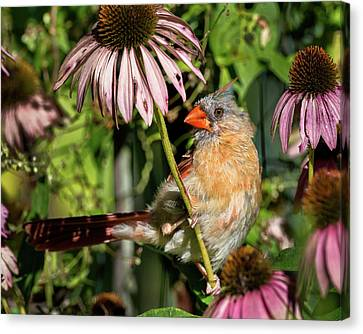 Fledgling Northern Cardinal Canvas Print