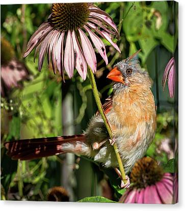 Cardinal Canvas Print - Fledgling Northern Cardinal Square by Bill Wakeley