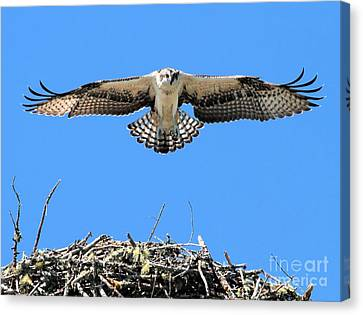 Canvas Print featuring the photograph Flegeling Osprey by Debbie Stahre
