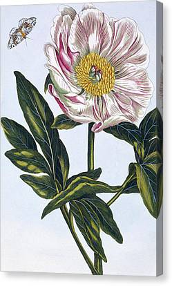 Flesh Colored Common Peony Canvas Print by Pierre-Joseph Buchoz