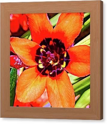Fleur D'oranger Canvas Print by Shirley Anderson