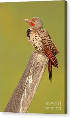 Flicker Asleep On Perch Canvas Print by Max Allen