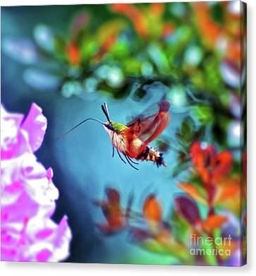 Canvas Print featuring the photograph Flight Of Mystery - Hummingbird Moth by Kerri Farley