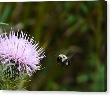 Flight Of The Bumblebee Canvas Print by Morning Dew
