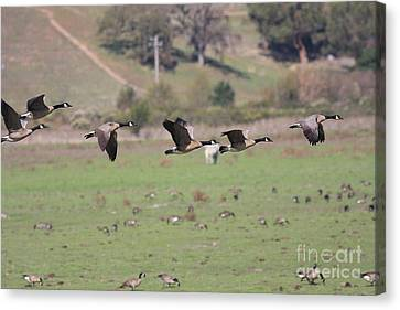 Flight Of The Canada Geese 2 Canvas Print by Wingsdomain Art and Photography