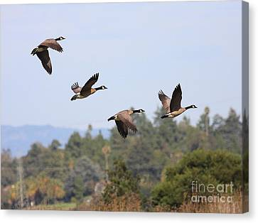 Flight Of The Canada Geese Canvas Print by Wingsdomain Art and Photography
