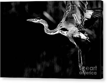 Bif Canvas Print - Flight Of The Great Blue Heron  - Black And White by Wingsdomain Art and Photography