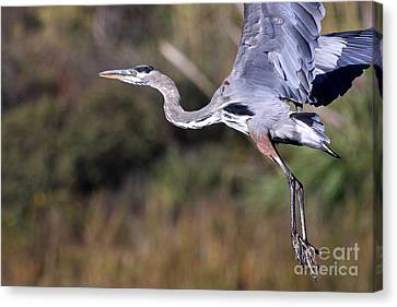 Flight Of The Great Blue Heron Canvas Print by Wingsdomain Art and Photography
