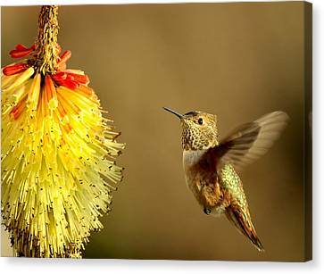 Flight Of The Hummer Canvas Print by Mike  Dawson